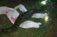 See What a farmer did after his goat was eaten alive by a huge python at night